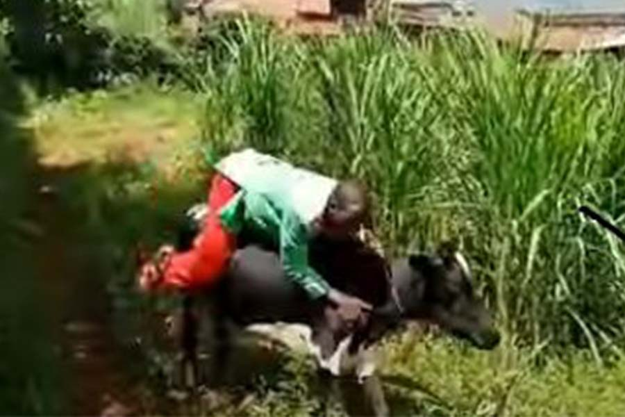 Trending Embarambamba riding dance on a cow